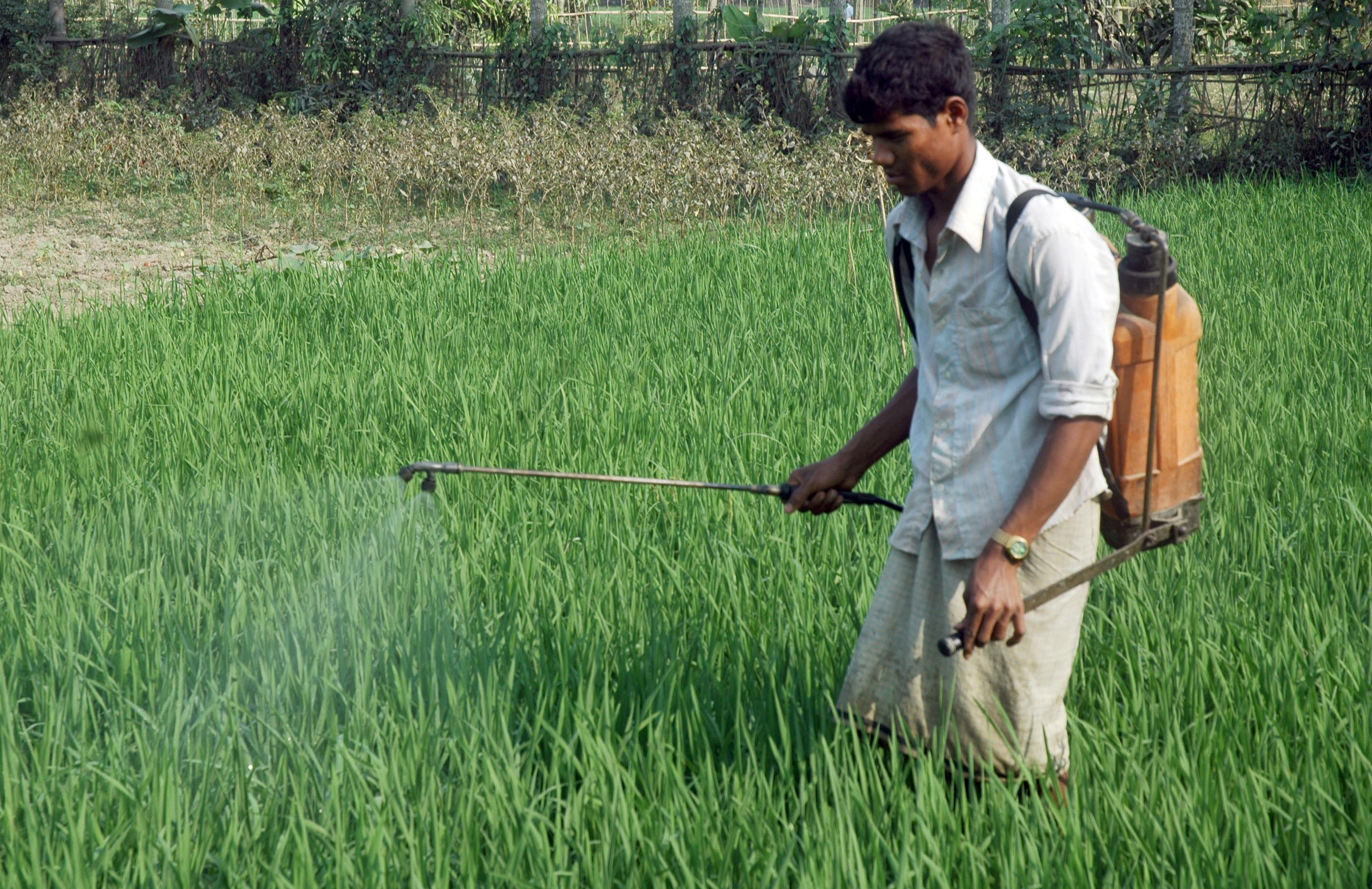 Pesticide spraying in paddy field