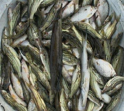টাংরা মাছ
